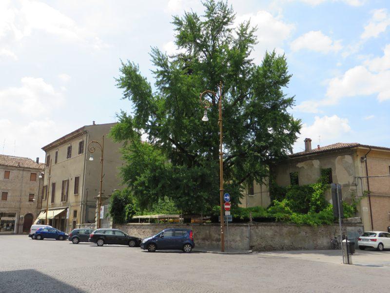 Il secolare Ginkgo Biloba di piazza Del Duomo a Forlì. Foto Forlipedia.