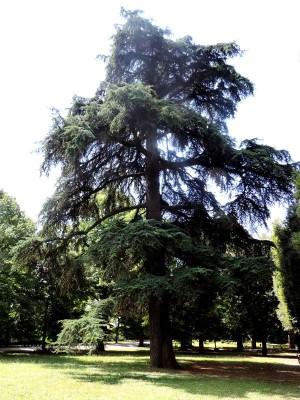 Il Cedro dell'Atlante dei Giardini Della Resistenza. Foto Forlipedia